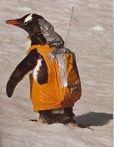 Waddling through the snow of a continent reserved for research, a gentoo penguin wears a radio backpack that provides monitoring biologists with data on blood flow and pressure. The neck rig draws blood samples by remote control. After a few days in