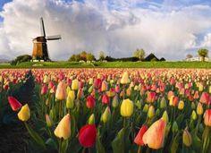 tulipani olandesi - Cerca con Google