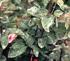 Mildew on Rose Leaves home remedy  Baking Soda Spray:  ■1 tbsp vegetable oil  ■1 gallon unchlorinated water  ■1 tbsp apple cider vinegar  ■1 tsp Listerine (yes, the famous mouthwash, not mint flavour, just regular)  ■1 tbsp liquid soap  ■1 ½ tbsp baking soda  ■Pump sprayer (large