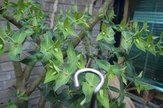 Euphorbia Lathyrus  Deze plant is geschikt voor de ondersteuning door de   Solitairpin van www.detuinfee.nl. Verkrijgbaar in 4 hoogtes.