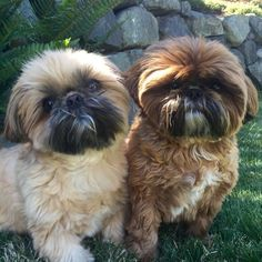 All About Smart Shih Tzu Puppy Grooming Shih Tzu Hund, Chien Shih Tzu, Shih Tzu Puppy, Shih Tzus, Shitzu Puppies, Cute Puppies, Cute Dogs, Dogs And Puppies, Doggies