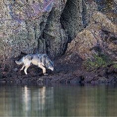 World Of Wolves — By @johnemarriott #shoutout #photography #wild