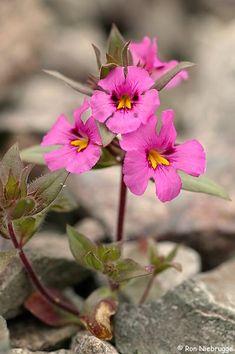 Bigelow's Monkeyflower blooms near Nelson, Nevada and Lake Mojave. Lake Mead Recreation Area, Mojave Desert, Nevada.