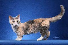 lambkin cat | lambkin-cat.jpg