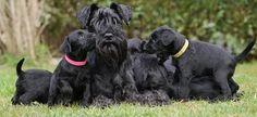 Dark and handsome. Black Schnauzer, Standard Schnauzer, Giant Schnauzer, Schnauzer Puppy, Black Beast, Miniature Schnauzer Puppies, Border Terrier, Luna Lovegood, Cutest Thing Ever