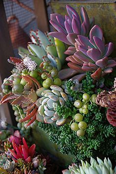 Colorful succulent container garden.