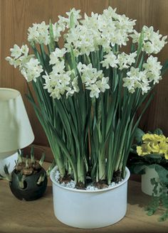 Paper White Ziva - Planted in front yard courtyard (front row) and garden pathway to orchard Narcissus Bulbs, Narcissus Flower, Daffodils, Tulips, Spring Flowering Bulbs, Cut Flower Garden, Tulip Bulbs, Bunch Of Flowers, Bulb Flowers