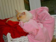23.10.12 ich bin ein Birmakater in rosa roter Decke...