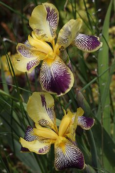 Purple & Yellow Iris Flowers