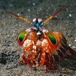 "Mantis+Strimp+,""spaccatori"",Squilla+arcobaleno,Peacock+mantis+shrimp,Odontactylus+scyllarus"