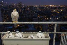 Sólo las mamás pájaro saben cómo cuidar de sus pequeños, aunque esto suponga sacrificar su propia comodidad, energía y tiempo. La siguiente serie de fotografías nos demuestran los protectoras que son con sus crías.