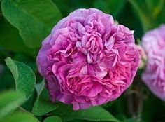 """Résultat de recherche d'images pour """"rosier ancien parfumé rose"""""""