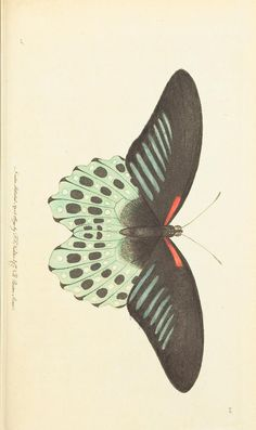- The naturalist's miscellany, or Coloured figures of natural objects - Biodiversity Heritage Library Butterfly Illustration Botanique, Butterfly Illustration, Botanical Illustration, Science Illustration, Vintage Butterfly, Butterfly Art, Insect Art, Arte Pop, Nature Prints