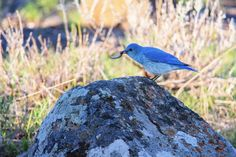 https://flic.kr/p/HQ28tb | Breakfast of Champions | Mountain Bluebird, Yellowstone National Park. Another classic case of pure luck in Yellowstone. This particular bird has a thing for perching on top of a restroom in Lamar valley in Yellowstone(because we seen it on two separate days in the same spot)... Its true beauty became evident once it was actually in the shade of the harsh mid-morning sunlight. The dark blue color of this bird popped when it would land on this rock. This sparked…