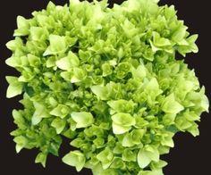 Minigreen Base Blue Hydrangea