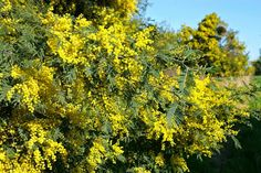 A mimosa é cultivada na Austrália e foi introduzida no hemisfério norte, em meados de 1800. Apesar de ter uma vida curta, é amplamente cultivada pelos seu amarelo brilhante e flores perfumadas.