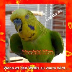 Vorsicht Hitzewelle!  Vom Wärmestau bis zum Hitzschlag und von der Vorbeugung bis zur Sofort-Hilfe. (Website www.sittiche.de ) Budgies, Parrot, Bird, Animals, Orchids, Parrot Bird, Parakeets, Animaux, Parrots