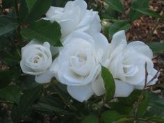 For Mom...'Iceberg' A Rose that glows (in the dark) maybe for outside of your moon garden.