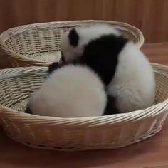 Baby Animals Super Cute, Cute Wild Animals, Cute Baby Cats, Cute Little Animals, Cute Funny Animals, Animals Beautiful, Animals And Pets, Panda Funny, Cute Panda