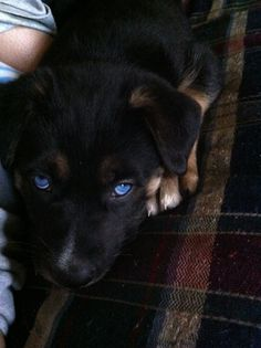 German Shepherd/Husky mix OMG! I will definitely get him a pup this color and with blue eyes ...ONLY FOR MY SOLDIER