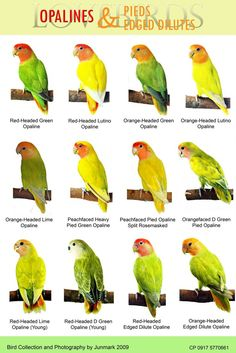 African Lovebirds Mutations lovebirds on pinterest opaline, violets and birds
