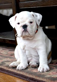 If I ever get one, it will be this english bulldog puppy