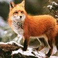 Animal Fox Winter HD pictures Animal Fox Wallpapers