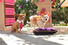 BEVERLY HILLS CHIHUAHUA 3: Viva La Fiesta! DVD Review