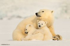 Polar Bear mother and her two cubs by Roie Galitz  Photographer
