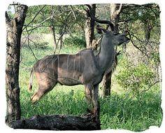 West Coast National Park animals - Kudu Bull, South Africa National Parks