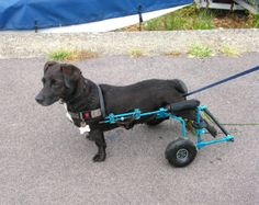 Freddie is a Doxie mix with a killer blue dog wheelchair