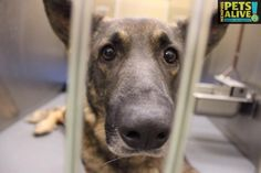 Memphis Pets Alive December 30, 2014 · Edited ·    #A273836 German Shepherd Male, 3 years, 60 lbs Intake Date: 12-18-14, Review Date: 12-22-14 I'm at Memphis Animal Services, call 901-636-1416. I'm in STRAY so ask to see me!!!!