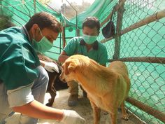 Shimi needs attention, Kamlesh and Dr.Harry attending to in patient treatments. #animalwelfare #animalhealth #green #dharamsaladogs
