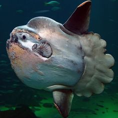 The ocean sunfish, Mola mola, or common mola, is the heaviest known bony fish in the world. It has an average adult weight of 1,000 kg (2,200 lb). its brain weighs .... 4g ......
