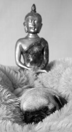 sleeping pug, with buddah