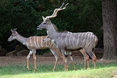 Lesser Kudu family