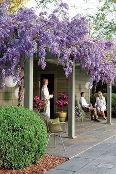 Why We All Love Wisteria #gardenvinespergolas #gardenvinesbeautiful #gardenvinesspring
