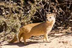 A curious yellow mongoose at Nossob Camp in the Kgalagadi Transfrontier Park, South Africa  by Michel Rademaker Photography