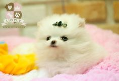 Previous Puppies - white POM