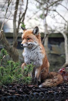 Red Fox by Ian Wade