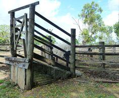 cattle race - rural Australia