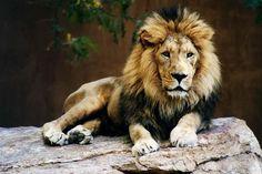 Taronga Zoo Lions