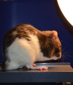 "Longer Days Bring 'Winter Blues'—For Rats, Not Humans   Rats exposed to less light during the day were more likely to explore the open end of an elevated maze, a behavioral test showing they were less anxious. Credit: Davide Dulcis and Pouya Jamshidi, UC San Diego Most of us are familiar with the ""winter blues,"" the depression-like symptoms known as ""seasonal affective disorder,"" or SAD, that occurs when the shorter days of winter limit our exposure to natural light and make us more…"