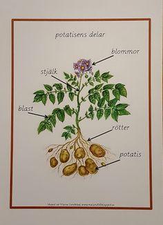 Min blogg om allt mellan himmel och jord: Potatisens delar
