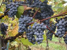 Vitis vinifera - Organic Grape Seed Oil from the Finger Lakes, NY.  Ingredient in our Nourish Organic Oil Cleanser.  www.aromatictraditions.com