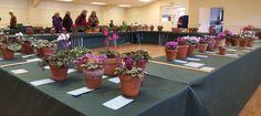 The Cyclamen Society Show at RHS Garden Wisley, 7th February 2016.