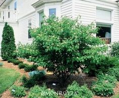 Best Pagoda Dogwood Images Garden Beds Lawn