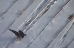 Viral Video Shows 'Really Clever Bird' Using Plastic Lid to Sled Down Snow-Covered Roof