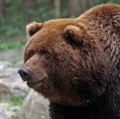 Kodiak Bear 3 - Kodiak Bär 3 by pe_ha45, via Flickr