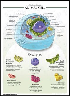 Poster style description on Animal Cell Organelles